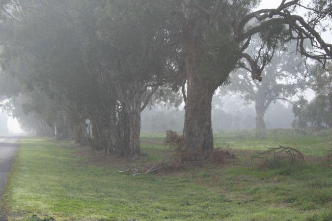 Misty morning, Penola SA