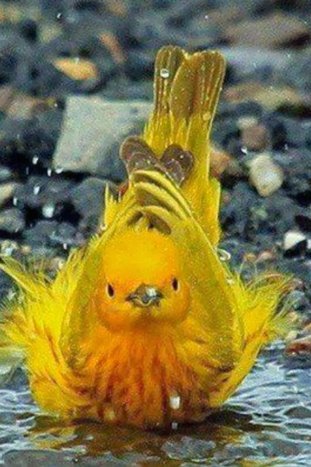 (Yellow Warbler - A wonderful paint pallet that God has when he created Nature. And to think, there are colors in Heaven that we haven' seen yet.) * * WISE WORDS !
