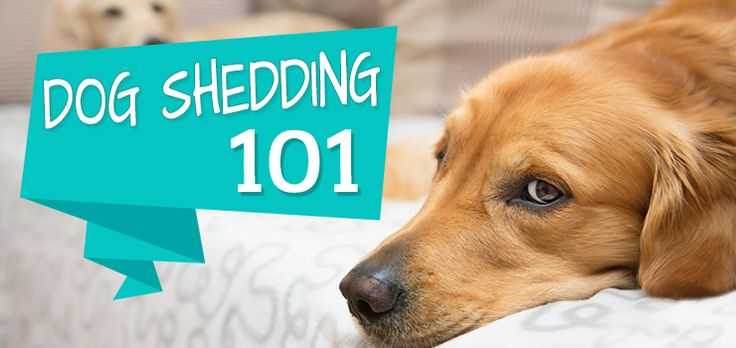 Ever wonder why your dog sheds so much? Well, you're certainly not alone. But sometimes excessive shedding is tied to disease, stress, diet, allergies, or other health concerns that need their owners attention. So why does your dog shed? How much is too much? And how do you control that hair from spreading all over …