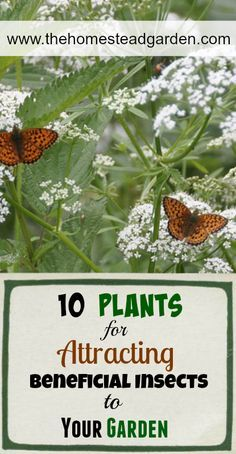 10 Plants for Attracting Beneficial Insects to Your Garden www.thehomesteadgarden.com
