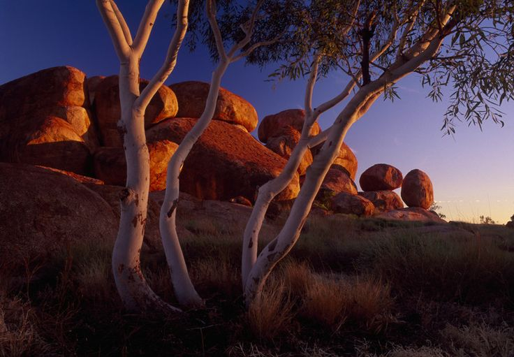 The Ghost Gum trees at Devils Marbles, located in Australia's Outback are a great spot to watch the changing colours of the Red Centre during sunset in Australia.
