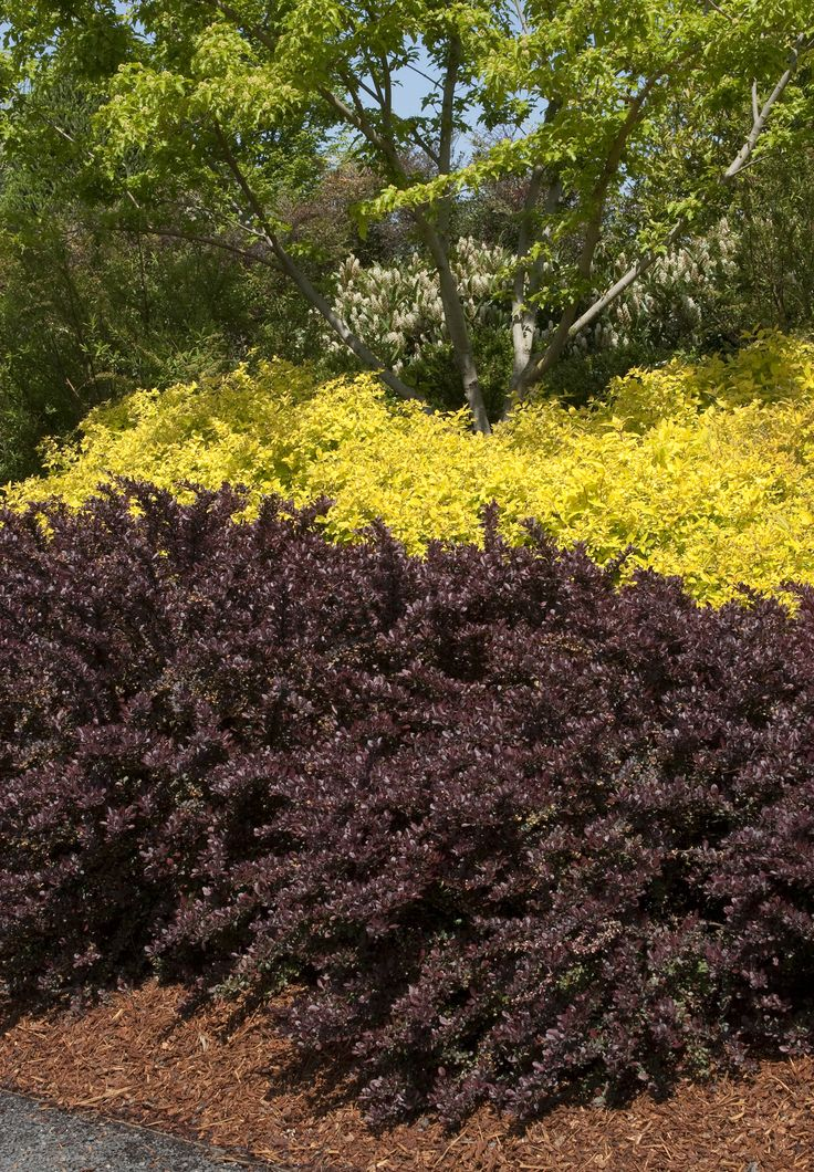 Crimson Pygmy Dwarf Japanese Barberry Like This For