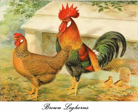 Brown Leghorns poultry male and female
