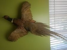 Pheasant Taxidermy | eBay