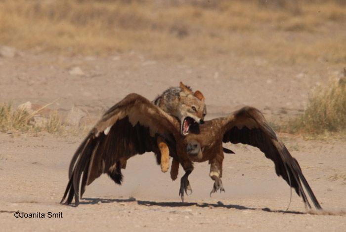 It's a clash of fur and feathers in the Kgalagadi, with a jackal taking on a vulture.