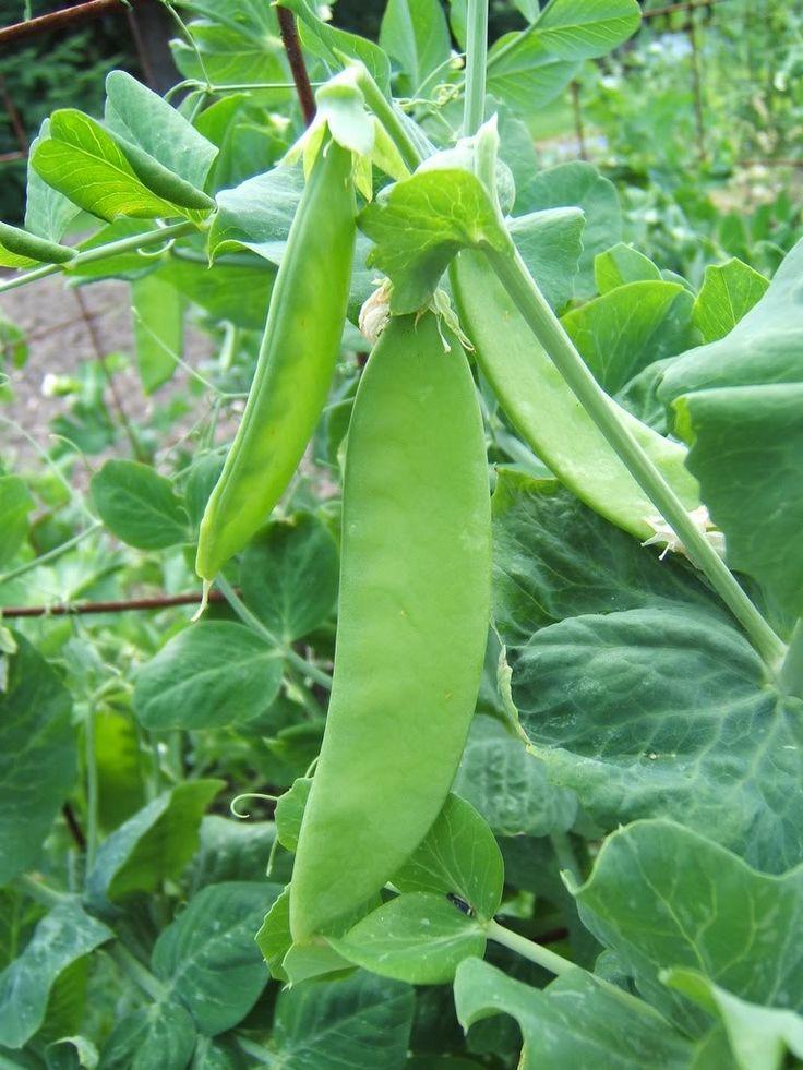 Snow Peas On The Vine Peas Plants Planting Vegetables