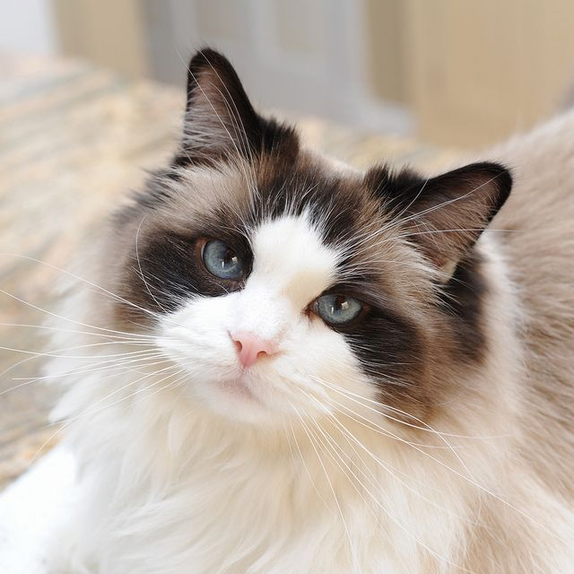 seal bicolor ragdoll dream cat. This cat looks identical to my boy Lovebug!!!!!