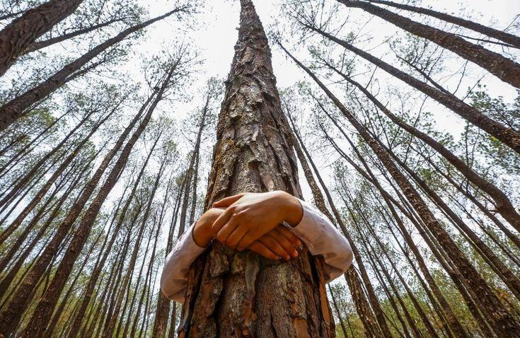 Αγκάλιασμα ενός δέντρου για 2 λεπτά, βοηθά στην όξυνση της συνείδησης. Στο Νεπάλ 2001 άνθρωποι το έκαναν ταυτόχρονα. Παράξενη εμπειρία. Δεν την έχω ζήσει. Θα  δοκιμάσω. Ας μην μένει η αγκαλιά κενή. Και τα δέντρα είναι ζωντανοί οργανισμοί. Γιατί να μην τους κάνει καλό να νοιώσουν και αυτά πως κάποιος τα συμπαθεί;