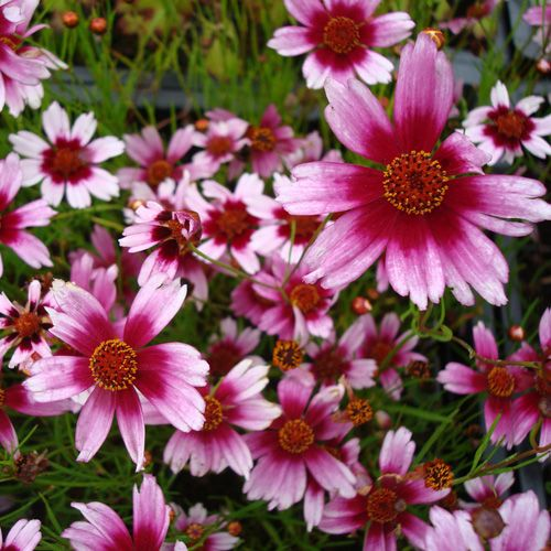 22 best vivace soleil images on pinterest perennials for Vivace floraison hivernale