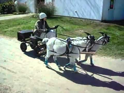▶ Team Snazzy Goat at the Vermont Sheep and Wool Festival 2013 - YouTube #goatvet likes this matched goat pair pulling the cart