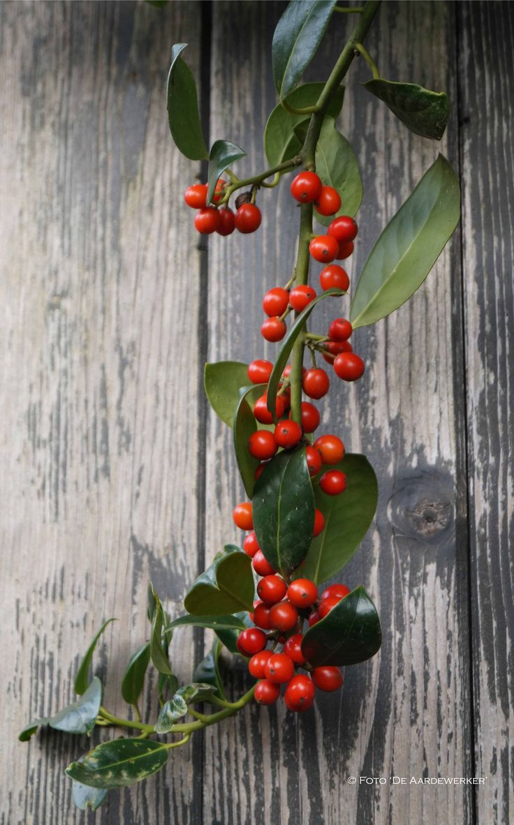 De oranjerode bessen van Ilex aquifolium, hulst, doen je aan de kerstdagen denken ~ Foto 'De Aardewerker', Inrichter van Tuin & Landschap