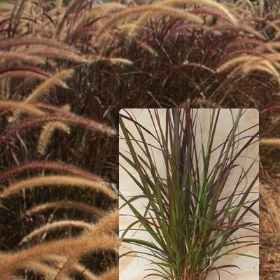 Pennisetum rubra This is an exotic ornamental sterile grass with striking burgundy foliage and large feathery flowers occurring throughout the year. Its burgundy foliage will add great contrast to other green plants in the garden. H1.5 W 1.3
