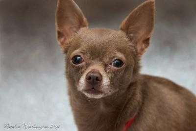 Little brown chihuahua