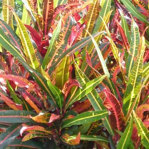 Croton (Codiaeum) - Queensland Gardening Pages (Plants & gardens in Brisbane & Qld)