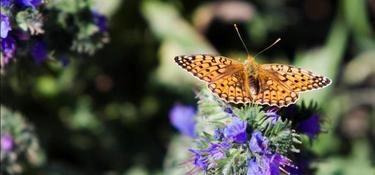 prachtige #vlinder in de #vlindertuin