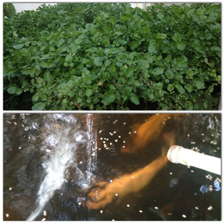 565 best images about hydroponic gardening on pinterest for Fish pond hydroponics