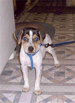 Sally Jo the Mountain Feist puppy