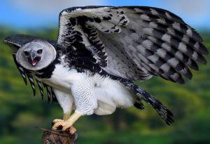 Fauna de la selva peruana - El águila arpía