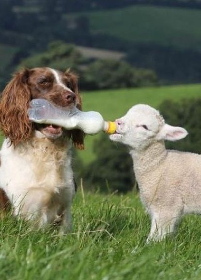 Dog bottle-feeding baby lamb. This is something.