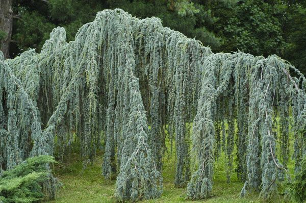 Small Cedar Tree Varieties ~ Best weeping evergreen trees images on pinterest