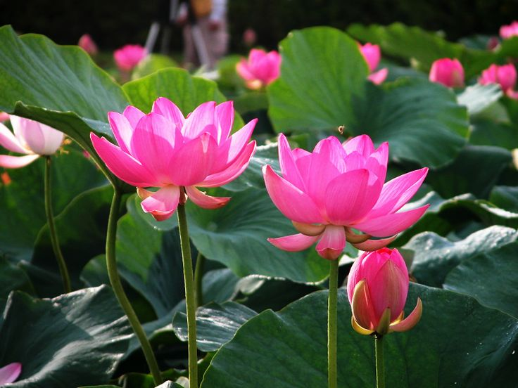 best  lotus flower pictures ideas on   sea life, Beautiful flower