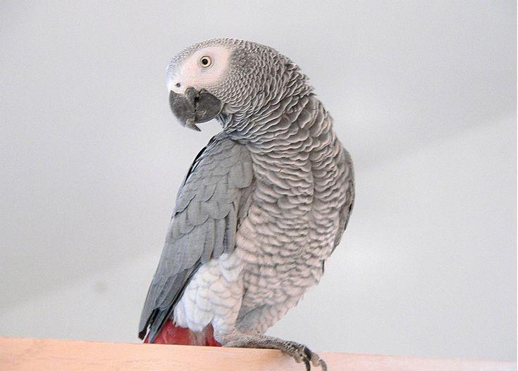 African Grey Parrot | World's Most Intelligent Bird: African Grey Parrot