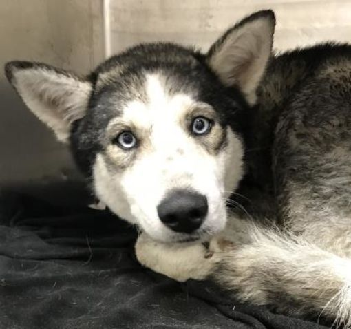 ***SUPER URGENT! 02/2018 - ID #37893750 a Husky for adoption in Fort Worth, TX who needs a loving home. Color White Age Adult Size Med. 26-60 lbs (12-27 kg) Sex Female Pet ID 37893750