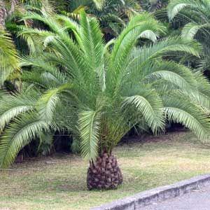 Photo de  Palmier des Canaries