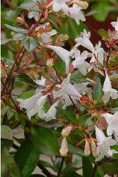 Faceys Nursery - Growers of Quality Nursery Stock Since 1959 - Abelia grandiflora