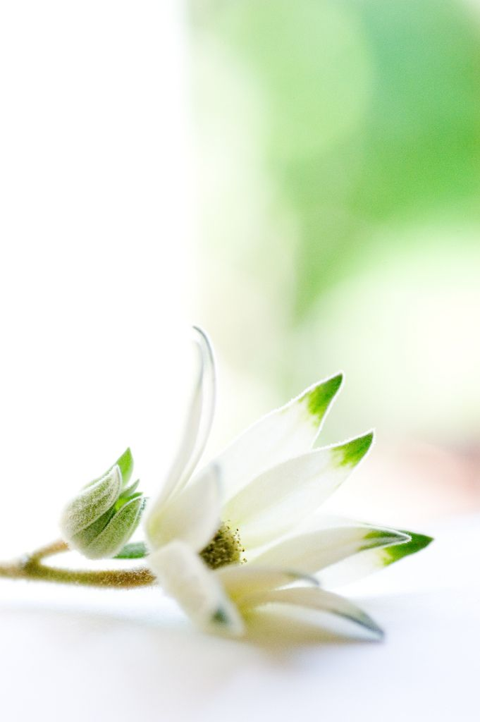 Flannel Flower ✿ڿڰۣ