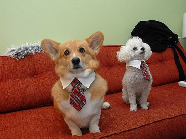 These dogs are making sure their ties are on straight so that their boss over at the dog food factory doesn't dock their pay ...