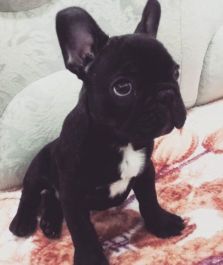 255 Best French Bulldog Dog Names French Bulldog Dog Bulldog