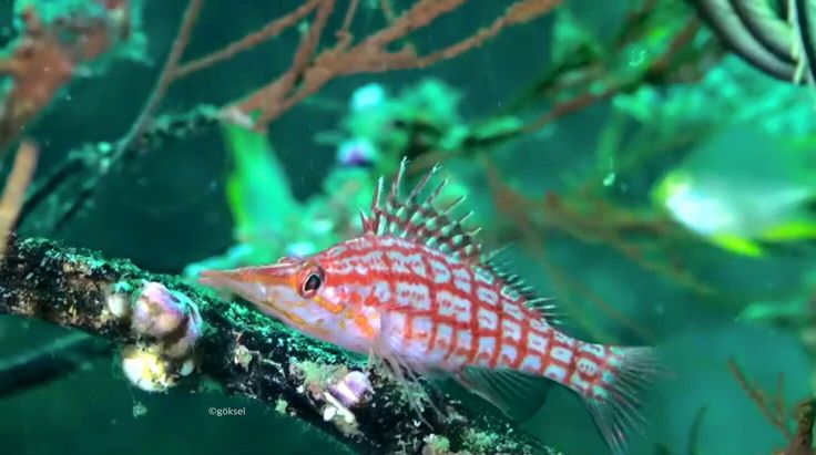 The longnose hawkfish, (Oxycirrhites typus), is a species of hawkfish, in the Andaman sea of Thailand!