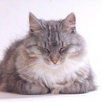 #dogalize Gatto soriano pelo lungo, caratteristiche e prezzo #dogs #cats #pets