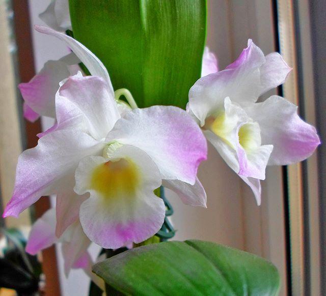 Zakwitl Mi Moj Przyjemniaczek Dendrobium Nobileniespodzianki Mi Nie Zrobil Bo Tak Go Pielegnowalam Aby Zakwitl Mimo To Zawsze Sie Ciesze Na Jago Przep Orchideen