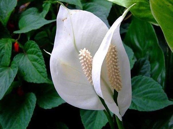 Один цветок цветет примерно 2 - 3 недели, после он постепенно зеленеет, а потом вовсе становится коричневым. Его обязательно удаляют - глубоко обрезают, чтобы следом за ним появился новый белый цветочек.