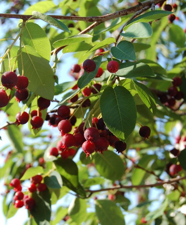 The juneberry amelanchier spp produces small blue red for Unusual small trees