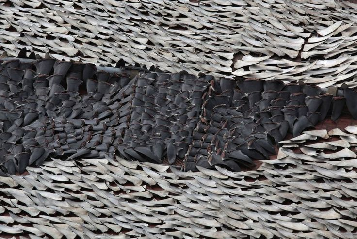 Les défenseurs de l'environnement dénoncent le commerce de l'aileron de requin à Hongkong