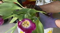 How to Plant Tulip Seeds | eHow
