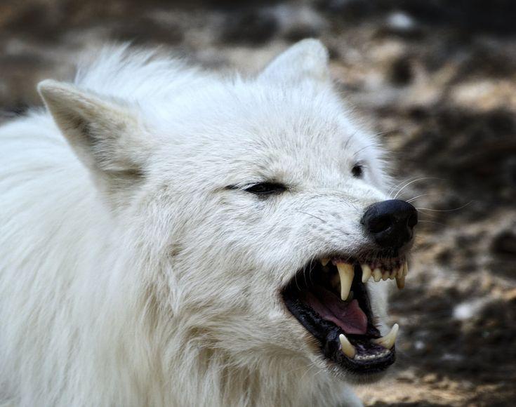 белый волк фото рычит сетовала маленький