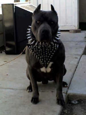 Ethical Treatment Pit Bulls's photo: How disgraceful to exploit an innocent being like this. No wonder people are afraid of pit bulls! Disfigure the dog by chopping up the ears then put on scary looking items. Go to hell if this is how you treat animals. #pitbull