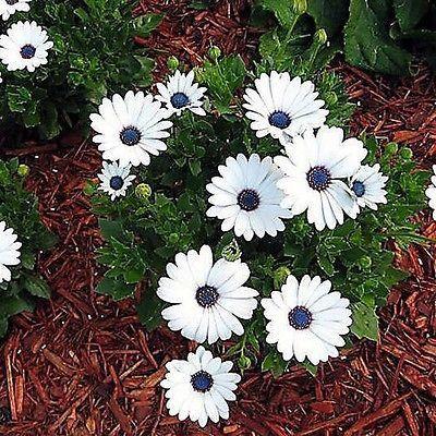 50+ African Daisy White Flower Seeds ,Under The Sun Seeds