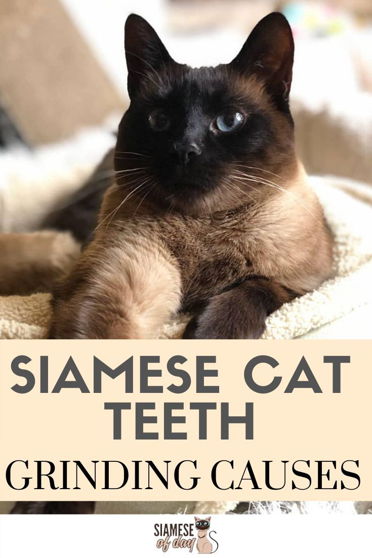 Siamese Cat Teeth Grinding Causes Reason Tips To Prevent In 2020 Siamese Cats Cats Cat Parenting