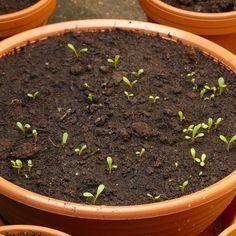 Im Frühjahr Blumen für den Sommer säen: Erfahren Sie, wann und wie Sie Blumensamen säen, Pflanzen vorziehen und Saatscheiben für Kräuter pflanzen.