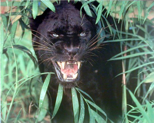 Panther Scary Black Leopard, Jaguar Animal Nature Wall De... https://www.amazon.com/dp/B008CNI9C8/ref=cm_sw_r_pi_dp_x_NV1YybRFRF03B
