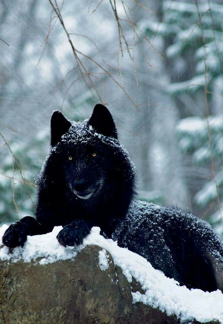 Best 25+ Wolf howling ...