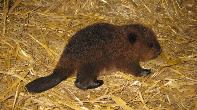 Bebek Kunduz