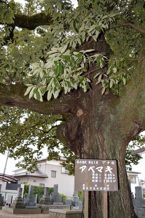 https://www.facebook.com/decasu?ref=hl  井上町に残る大きなアベマキ。 町案内人の方のお話によると、シイタケの原木用に植えられたアベマキが、墓地だったために伐採されずに育ったのではないか、とのことでした。 広く枝を広げた木は、夏には絶好の日陰を作ってくれています。