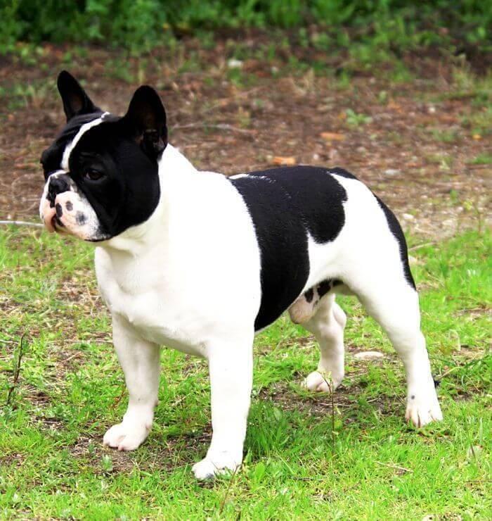 5 cualidades de los perros Bulldog francés