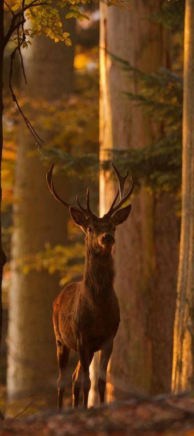 Wildlife Images | Deer